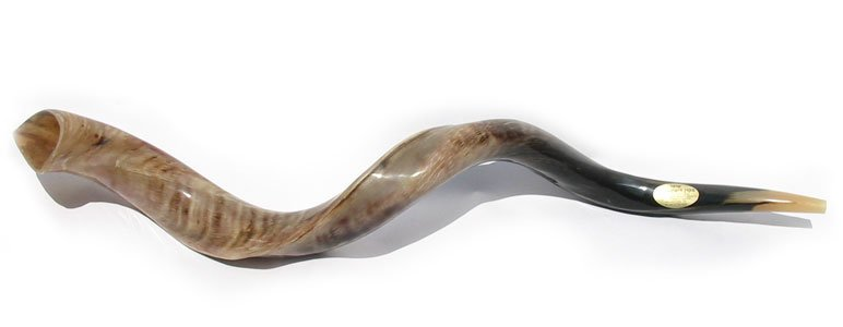 Extra Large Yemenite Polished Shofars